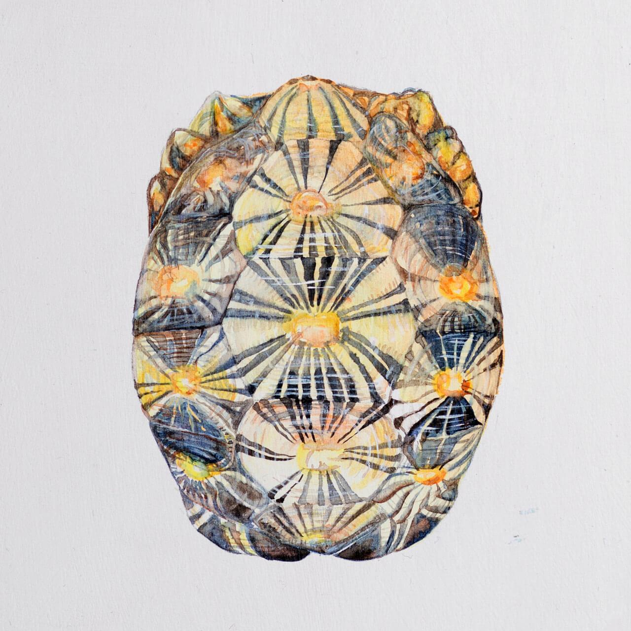 astrochelys-radiata