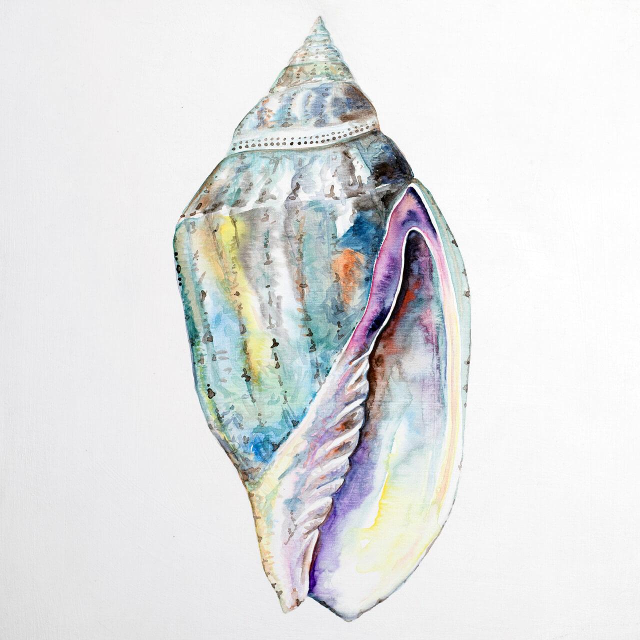 concha-caerulea