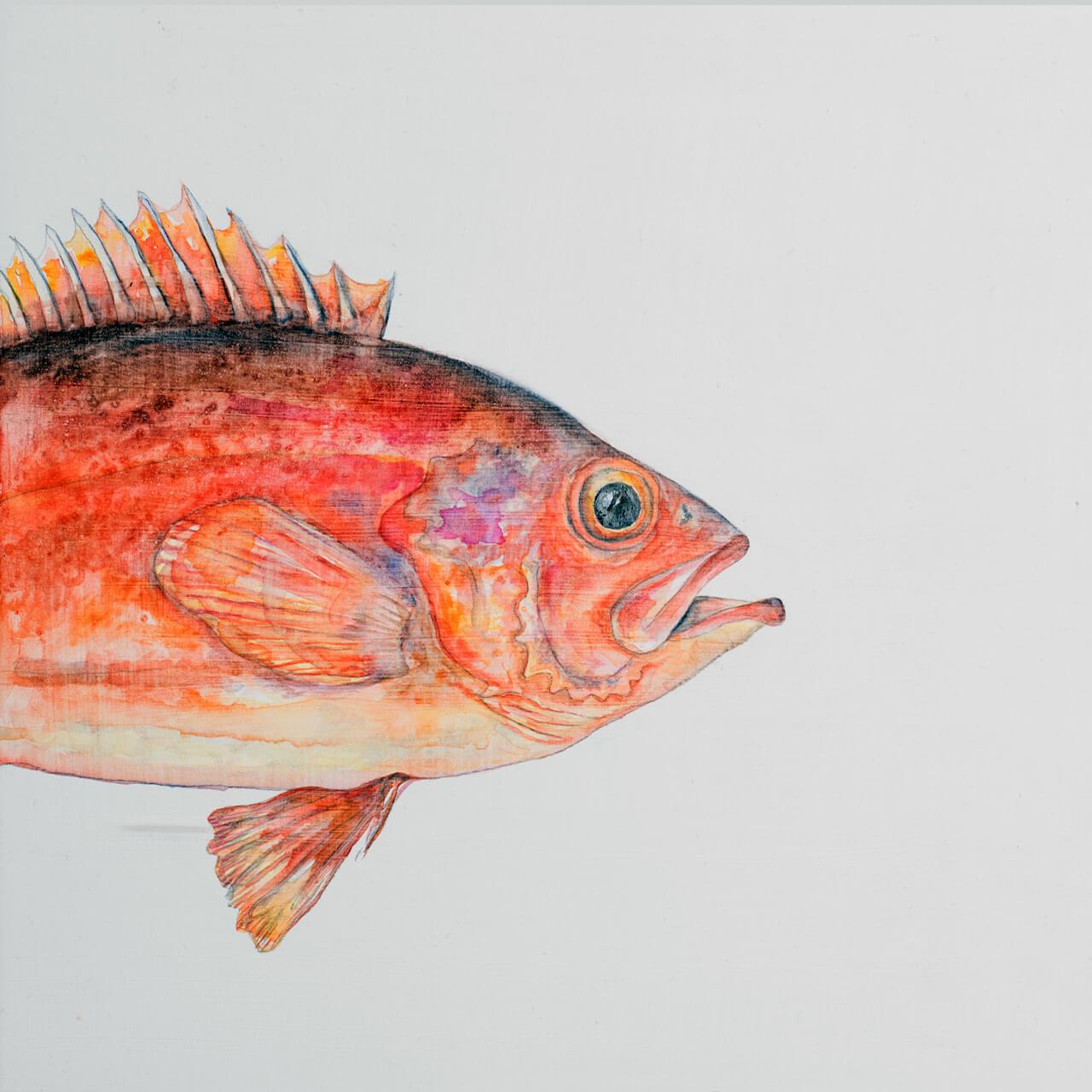sebastus-marinus-II