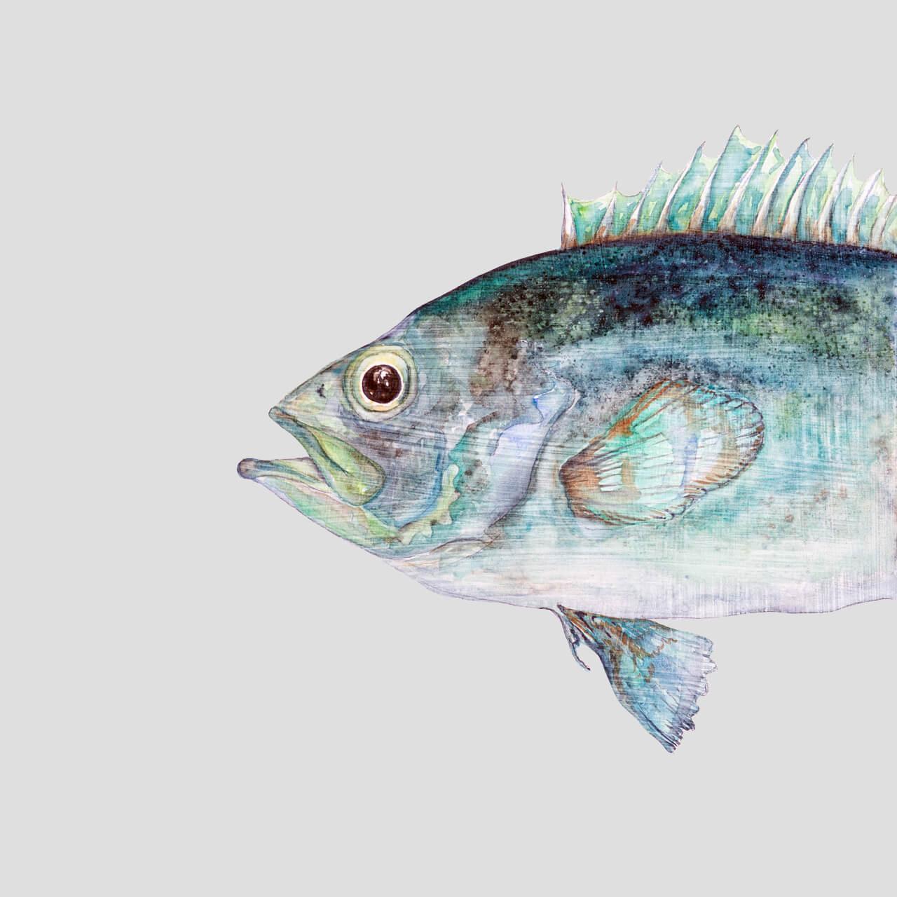 sebastus-marinus-viridis-I