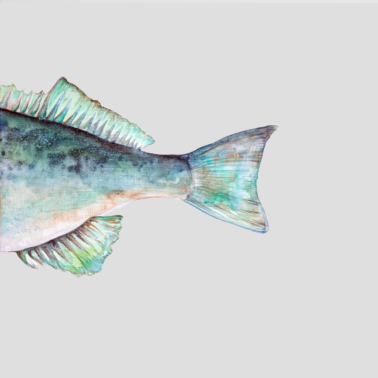sebastus-marinus-viridis-II